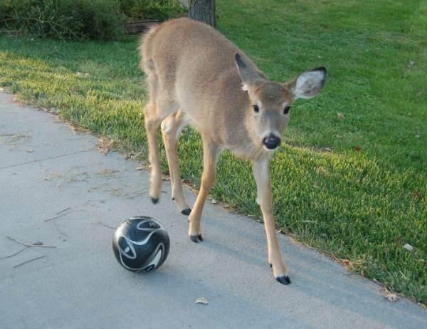 小鹿亂入足球比賽,把球搶走後的天才表現讓球員都想拜牠為師!