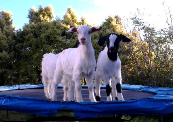 當落單小羊發現同伴在蹦床開party時,牠的反應讓主人知道原來羊這麼不甘寂寞!
