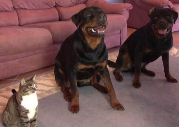 主人在教兩隻狗狗表演翻滾,但旁邊想爭寵的貓咪看著看著就...?