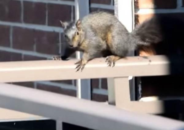 小松鼠發現受困21樓無路可退後,1:10秒牠用最戲劇化的方式解救了自己!