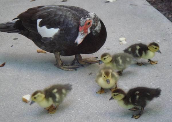 鴨媽媽帶著一群小鴨要回家,一陣狂風吹來,最萌「翻」的畫面就出現了!