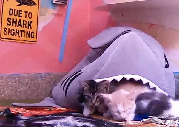 「此地有鯊魚出沒!」貓星人要如何拯救誤入鯊魚口的同伴呢?