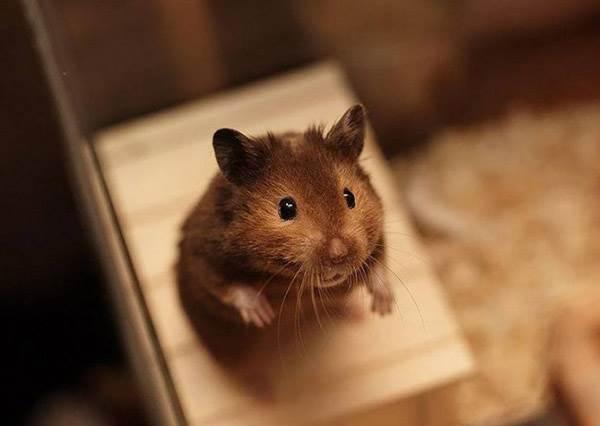 超有才華的寵物讓你厭煩了嗎?像這隻倉鼠一樣廢才是我們的最終夢想啊!