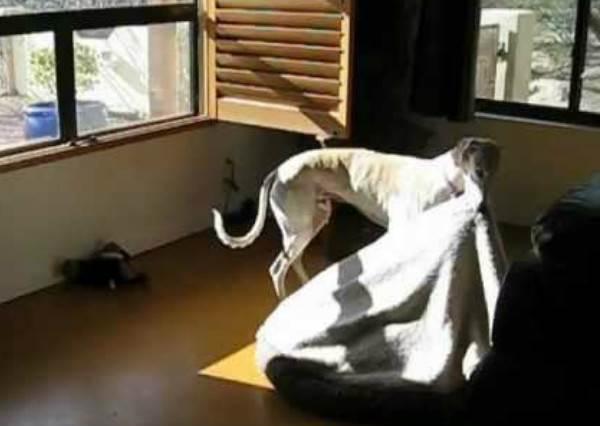 這隻超會「享受小確幸」的狗狗,為了睡得更香甜而做出的舉動,絕對會讓你嘴角失守!