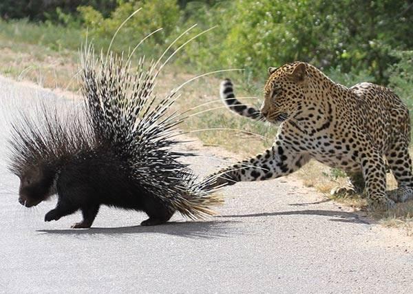 什麼?讓花豹、黑熊滿頭包的猛獸,居然是個矮冬瓜!
