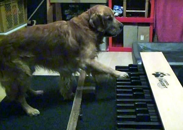 這兩隻擁有絕對音感的天才狗,彈起鋼琴甚至比你還好聽!?