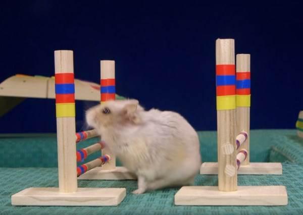 不只是可愛而已!小倉鼠迷你障礙賽 牠們聰明到還會作弊?