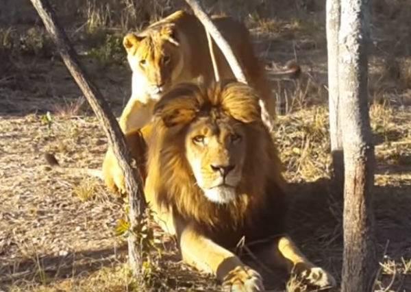 獅子王淡定曬太陽...調皮母獅從背後給萬獸之王一個超可愛的驚喜!