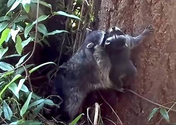沒關係有媽咪在!浣熊媽耐心敎小浣熊如何爬樹