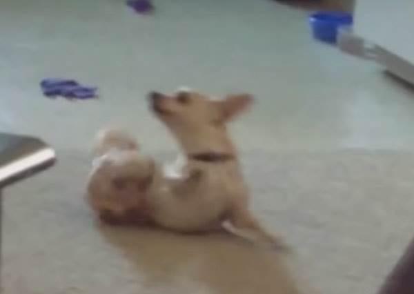 會跳舞的狗狗不少,但擁有「電動小馬達」的吉娃娃絕對只有牠!