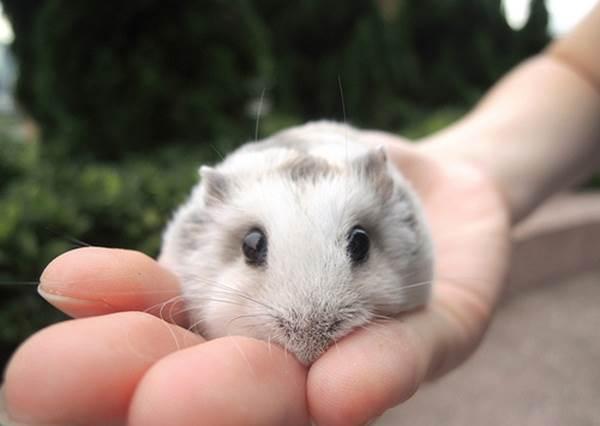 《讓倉鼠臣服手上的方法》照著做,你就能獲得軟綿綿的倉鼠麻糬!