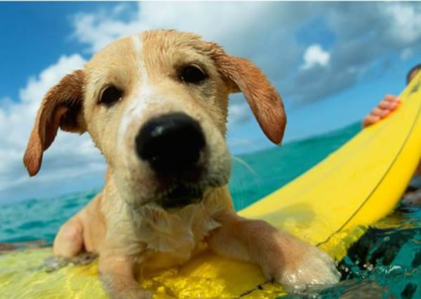狗媽媽決定訓練孩子游泳,沒想到孩子一下水竟把㊙㊙當衝浪板讓主人都傻眼啦!