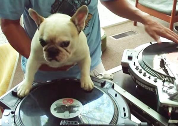 客人看到DJ邊上班邊帶著狗狗都快生氣了,沒想到轉唱盤的根本就是牠!?