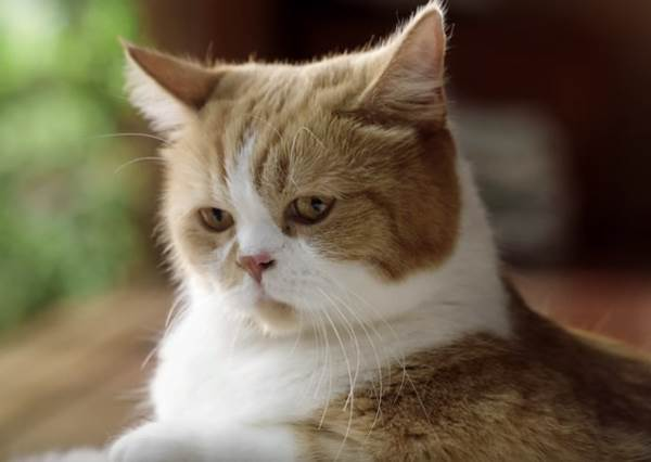 《日本最有人氣的貓咪演員》送上比萌度也比高度的絕品貓鍋!