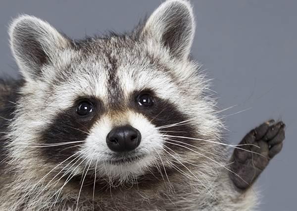 《不可能的任務》動物版!超萌浣熊從天而降偷麵包,甚至還會...?