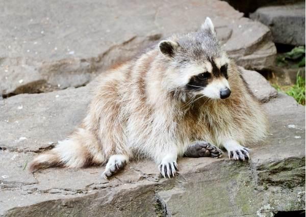 這隻有潔癖的小浣熊拿到棉花糖習慣性往水裡洗一下,結果...!?
