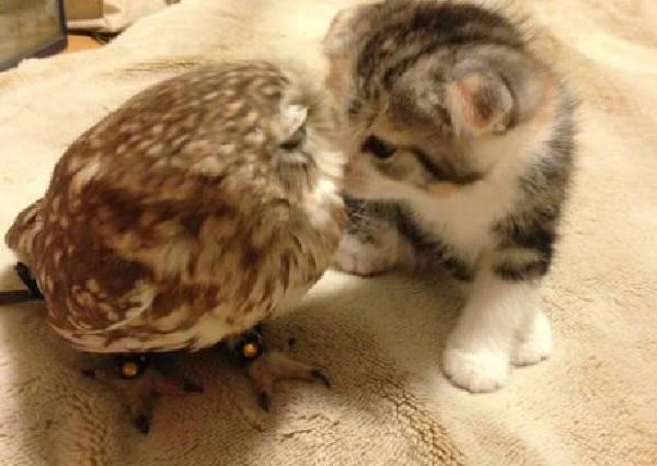 雙貓出擊I萌度破表,當貓咪遇上貓頭鷹,深厚情誼讓人大喊「好想養一對」