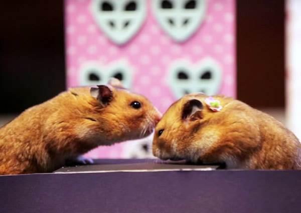 情人節都怎麼過?看這對小倉鼠示範牠們唯美假期給你參考一下!