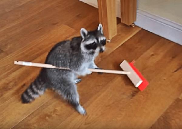 這根本是家事小浣熊真實版啊!小浣熊掃完地後做出超萌動作,你要什麼主人都給你啊!