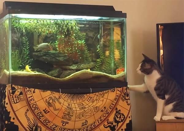好奇心會弄傻一隻貓 喵星人飛撲魚缸笑歪主人!