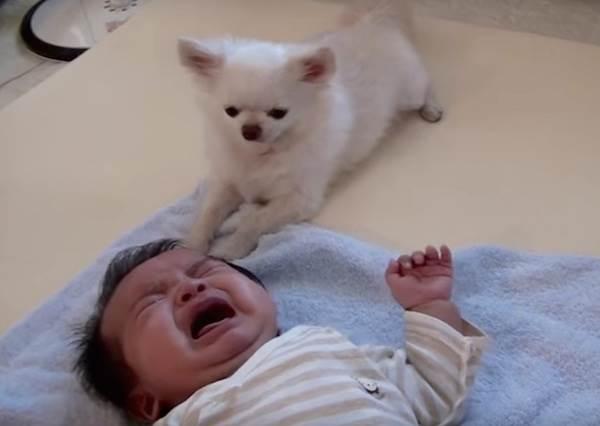 母愛大噴的狗狗!為了不讓寶寶繼續哭,牠竟然叼這個去給他...