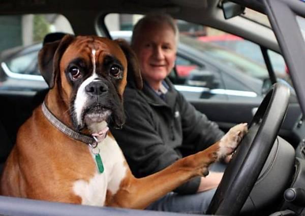 真人版實驗告訴你  為什麼別把狗狗留在車裡
