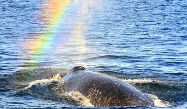 【驚世美景】鯨魚噴水竟然出現彩虹,這難道是另一種#PROUDTOLOVE