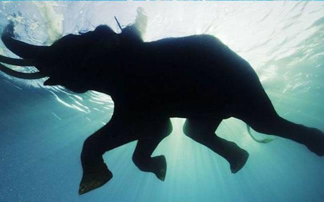 揪感心!日本動物園為大象興建大型泳池,讓牠暢快游泳兼消暑