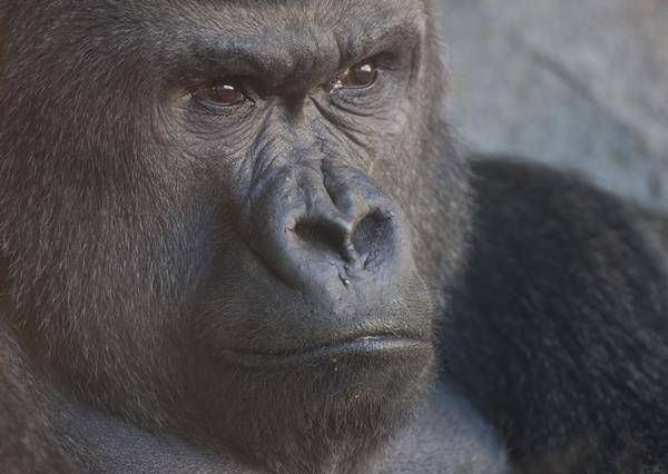 到底拍夠了沒?遊客拍不停 猩猩竟比中指抗議!