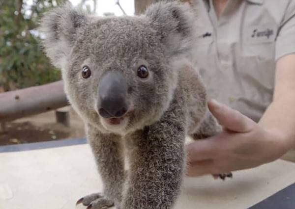 無尾熊Baby量體重妙方:拿出㊙㊙,一秒讓它乖乖上座!