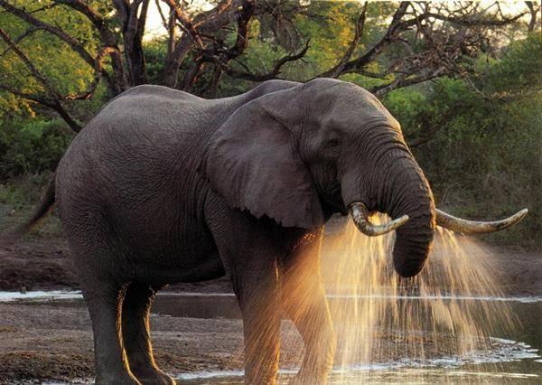 天然呆小象還沒學會用鼻子喝水 猜猜牠最後怎麼喝到水?