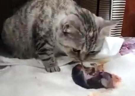 貓咪產後寶寶沒有呼吸!求助主人惹哭上萬網友