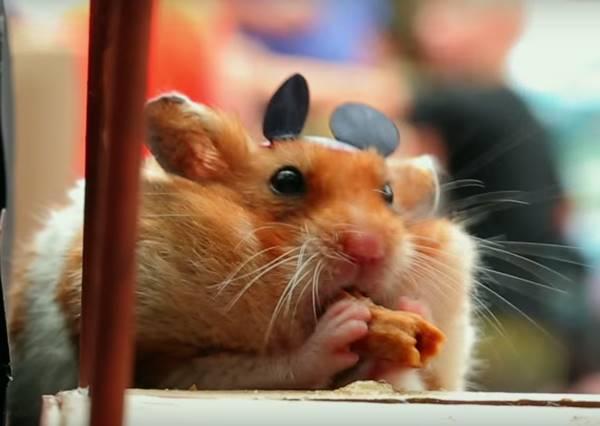 當小倉鼠碰上米老鼠 史上最萌導遊陪你遊玩迪士尼樂園!