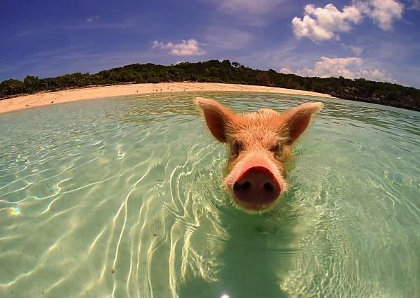 「豬」爬式泳技!小豬仔竟然能像魚兒般悠遊自在,是怎麼辦到的?