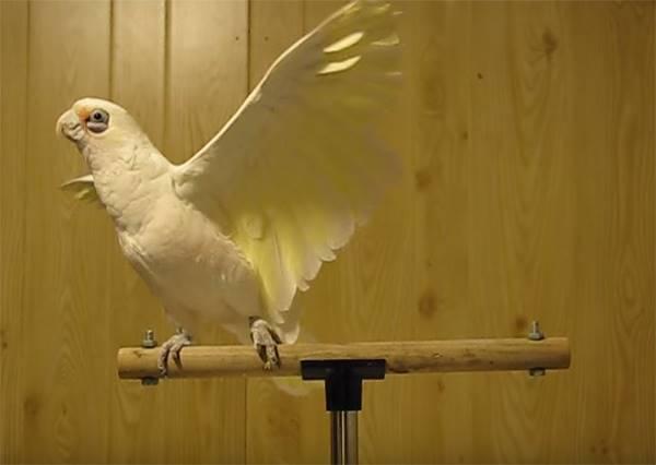 鸚鵡配合搖滾樂跳出12種舞姿,第47秒開始那一招太好笑了!