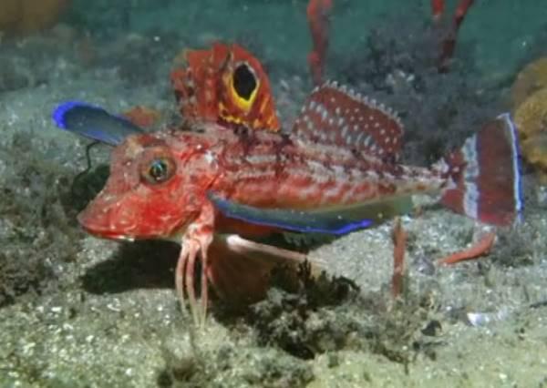 美人魚終於等到走路的一天?令你意想不到美麗魚類移動方式!
