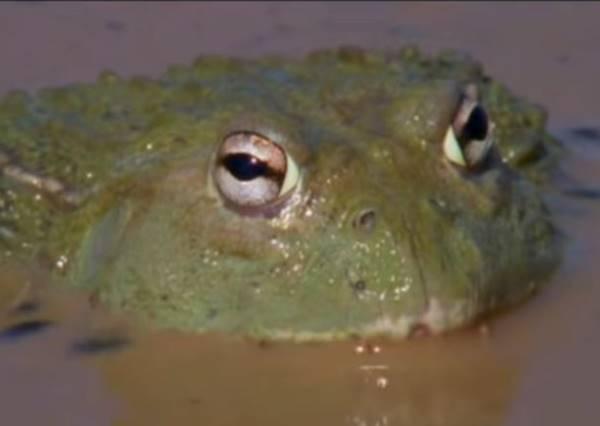 蝌蚪們困在即將乾枯的水池,牛蛙爸爸做了一件事讓他成為年度最佳蛙爸爸!