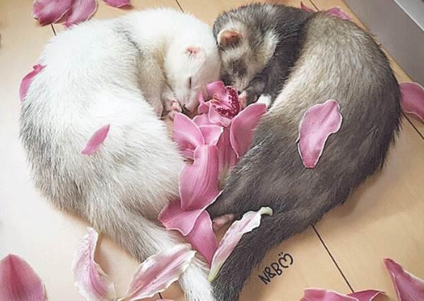 連睡覺都睡成愛心型,感情也太好❤充滿仙氣的萌貂兄弟日常公開,放電功力真的太強了啦!