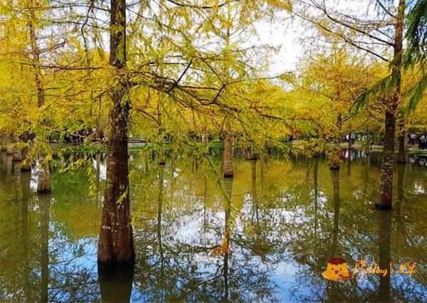 根本像神話美景般的秘境「落羽松水森林」就在這!隨便角度拍都夢幻,有人說更像在日本