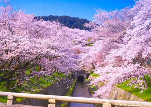 海裡竟然也能看的到鳥居?!日本滋賀美景10選,#9由櫻花組成的粉色隧道也太浪漫