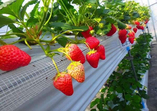 來這裡採草莓,還有煉乳、巧克力醬隨你加!盤點大阪人氣TOP3「吃到飽果園」