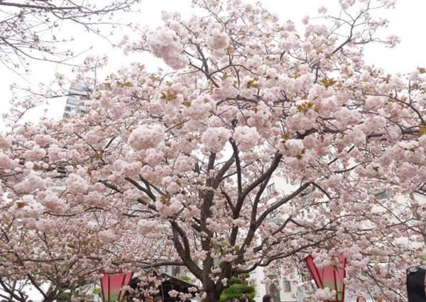 這段期間內免費開放?大阪造幣局賞櫻攻略:這的櫻花樹不高,可以讓你當個人背景瘋狂拍!