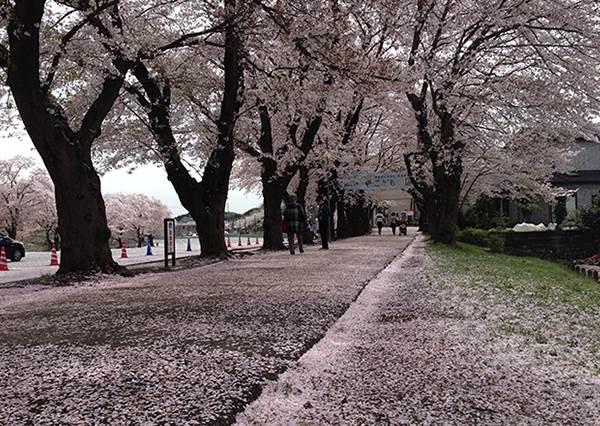 只有在地人才知道的賞櫻秘境!是哪座遊樂園這麼幸運,還有粉紅地毯可以走?
