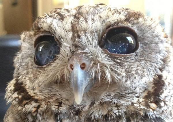 這隻貓頭鷹雖然全盲,但我們卻能在牠眼中發現最燦爛的星空!