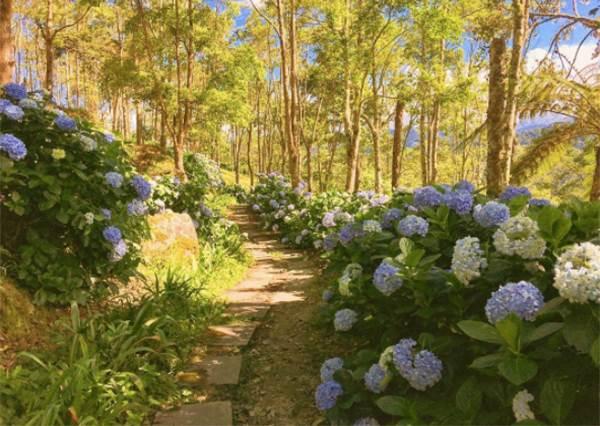 初夏限定!萬朵綻放「全台10處繡球花海」藍紫色迷幻仙境,百拍不膩的經典花牆就在第三個