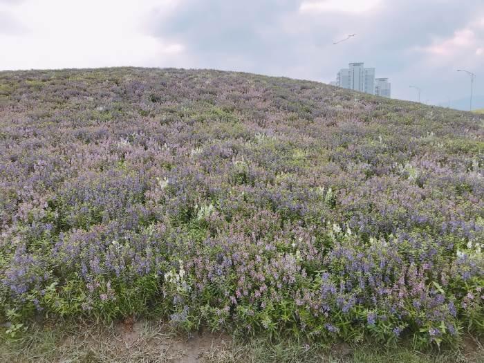 關渡第二期花海來啦! 一大片紫色天使花海怎麼拍都美,就決定是週末的約會行程了!