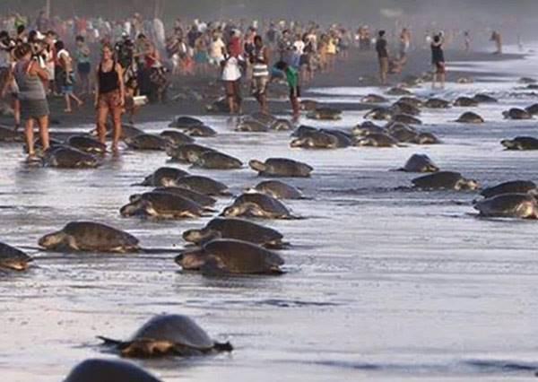 在海龜集體上岸產卵的重要時刻,居然有上百名遊客同時做了最錯誤的示範!?