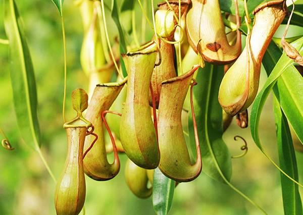 春夏居家除蟲幫手!4 種常見食蟲植物