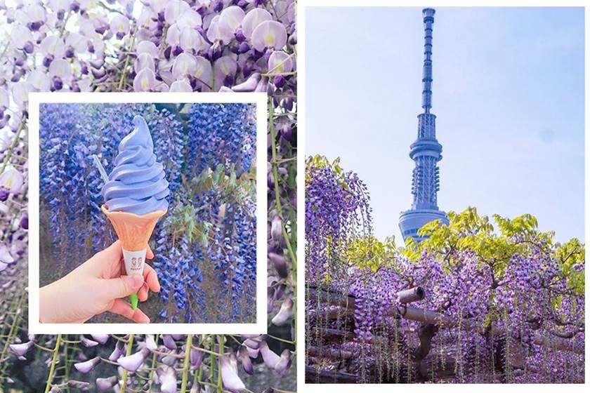粉色櫻花海看膩了?那來淋場紫色浪漫雨吧!東京賞「紫藤花」聖地公開,美到想移居日本啦~