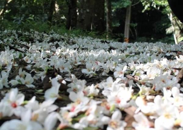 浪漫五月雪!全台油桐花季賞花好去處
